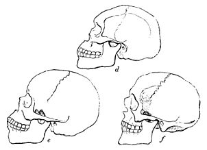 PSM V19 D306 Side view of skulls of various races.jpg