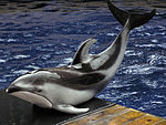Pacific white-sided dolphin va 2.jpg