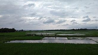 Saharsa - Paddy Plantations near Saharsa Town, Koshi Anchal, Bihar region