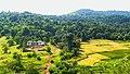 Paddy field in Maharashtra 8.jpg