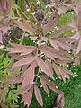 Paeonia lutea 'Hesperus' 01 leaves by Line1.jpg