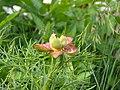 Paeonia tenuifolia BOGA.jpg