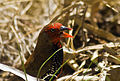 Painted Firetail (Emblema Picta).jpg
