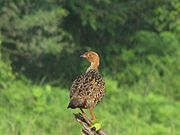 Painted Francolin CME1.jpg