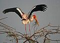 Painted Stork (Mycteria leucocephala) with nesting material in Garapadu, AP W IMG 5347.jpg