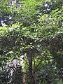 Palaquium bourdillonii-2-chemungi-kerala-India.jpg
