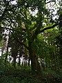 Památné stromoví Bransoudov 02.jpg