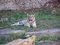 Panthera tigris altaica-Buffalo Zoo.JPG