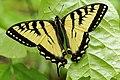 Papilio canadensis UL 02.jpg