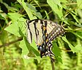 Papilio glaucus, Eastern Tiger Swallowtail, Lotus Lake, 8-3-07 (4731309903).jpg