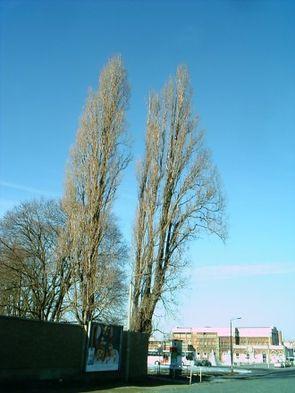 Pyramidenpappeln (Populus nigra 'Italica') im Winter