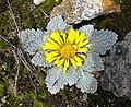 Paranephelius sp. (8475729071).jpg