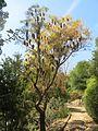 Parc Gonzalez - Banksia littoralis.jpg