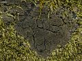 Parmeliella pannosa - Flickr - pellaea (3).jpg