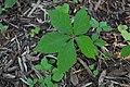 Parthenocissus quinquefolia - leaf (18872572730).jpg