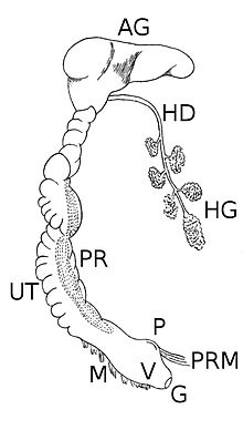 Digestive System Of A Rabbit besides Saliva further Digestive System furthermore Paryphanta busbyi in addition Search. on digestive system salivary glands