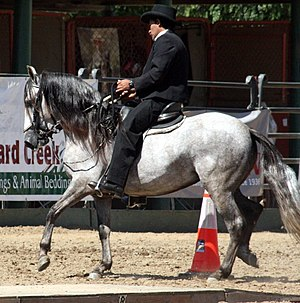 "Ambling gait - Paso Fino performing the ""classic fino', a slow, isochronous lateral gait"