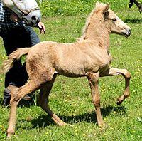 Paso Iberoamericano foal.jpg
