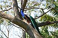 Peacock - Botanical Gardens Madeira.jpg