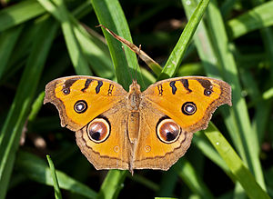 Peacock Pansy, Burdwan, West Bengal, India 31 01 2013.jpg