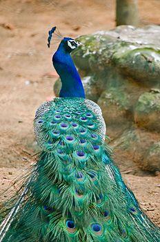 Peacock Pose.jpg