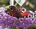 Peacock butterfly 4 (3846390784).jpg