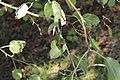 Pear Rust - Gymnosporangium sabinae on Pyrus cf. pyraster (44793331064).jpg