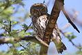 Pearl-spotted Owlet, Glaucidium perlatum, at Marakele National Park, Limpopo, South Africa (16310001335).jpg
