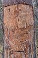 Pecherpfad near Hölles, Lower Austria, Austria-tree oblique PNr°0664.jpg