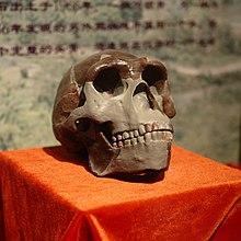 Teschio dell'uomo di Pechino (replica) presentato al Museo Paleozoologico della Cina.jpg