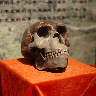 "Multiregional origin of modern humans - Replica of Homo erectus (""Peking man"") skull from China."