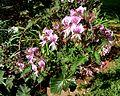 Pelargonium cordifolium, b, Pretoria NBT.jpg