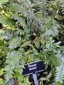 Pellaea falcata - Balboa Park Botanical Building - DSC06774.JPG