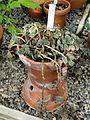 Pellionia repens (Pellionia pulchra) - Talcott Greenhouse - Mount Holyoke College - DSC04494.JPG