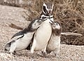 Penguin in action - panoramio.jpg