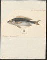 Pentapus vitta - 1824-1839 - Print - Iconographia Zoologica - Special Collections University of Amsterdam - UBA01 IZ13000263.tif