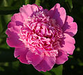 Peony Close Up Top View.jpg