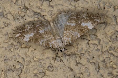 Perizoma flavofasciata, Lodz(Poland)01(js).jpg