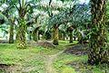 Perkebunan kelapa sawit milik rakyat (15).JPG