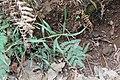 Pflanze an der Levada Nova, Madeira III.jpg