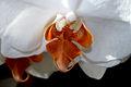 Phalaenopsis detail.jpg