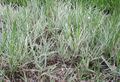 Phalaris arundinacea var. picta.jpg