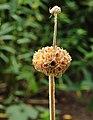 Phlomis russeliana, brandkruid 02.JPG