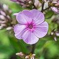 Phlox paniculata 'Lichtspel' in Jardin des 5 sens (2).jpg