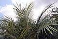 Phoenix roebelenii 19zz.jpg