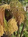Phoenix roebelenii inflorescence of male palm.jpg