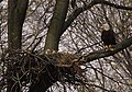 Photo of the Week - Bald eagle with young at John Heinz National Wildlife Refuge (PA) (4496678115).jpg