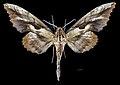 Phyllosphingia dissimilis perundulans MHNT CUT 2010 0 202 Assam India, male dorsal.jpg