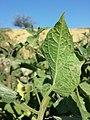 Physalis peruviana sl15.jpg