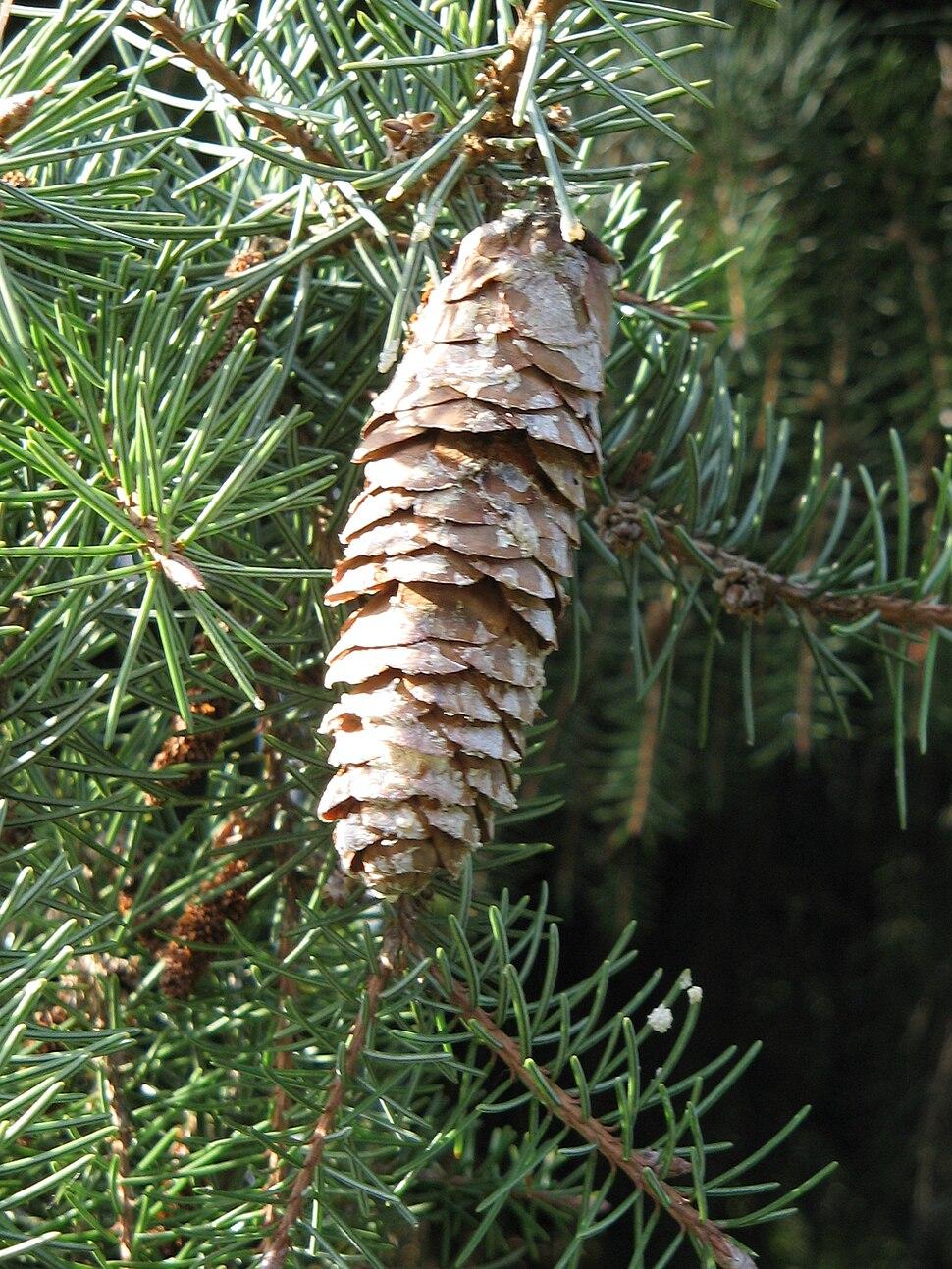 Picea breweriana mature cone